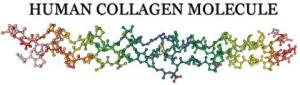 human collagen molecule